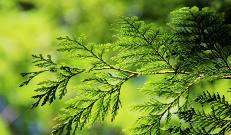 Arborvitae/Thuja