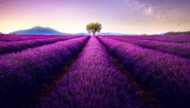 Lavendelmark