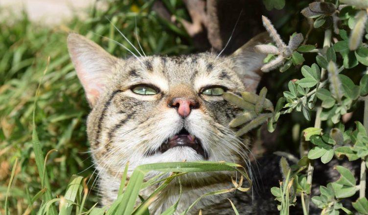 Katteallergi æteriske olier